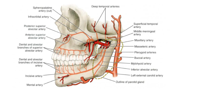 Tuần hoàn và thần kinh vùng chóp chân răng